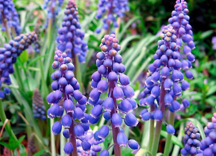 Muscari planting and care, cultivation
