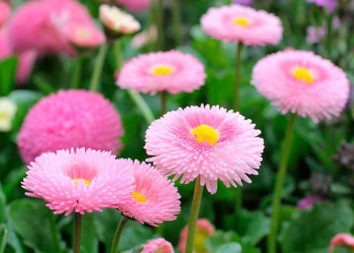 Daisies planting and care, cultivation