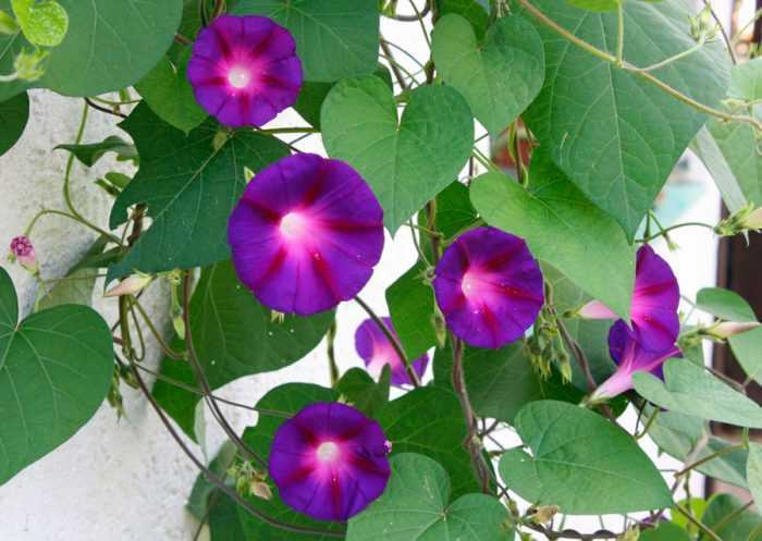 Ipomoea planting and care, cultivation