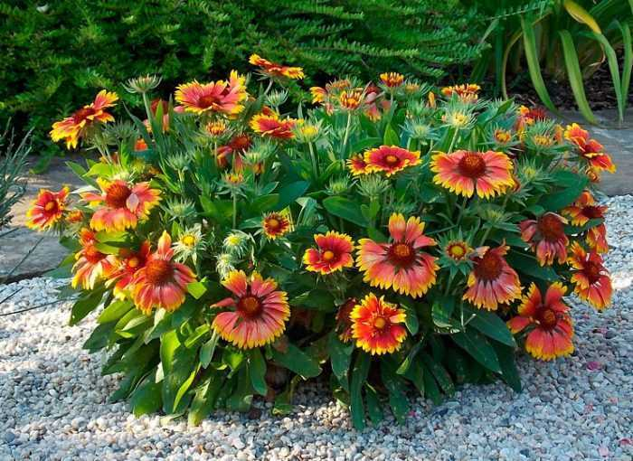 Gaillardia planting and care, cultivation