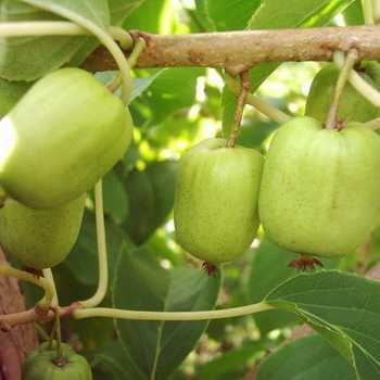 Actinidia berry (Actinidia): description, photo and secrets of cultivation
