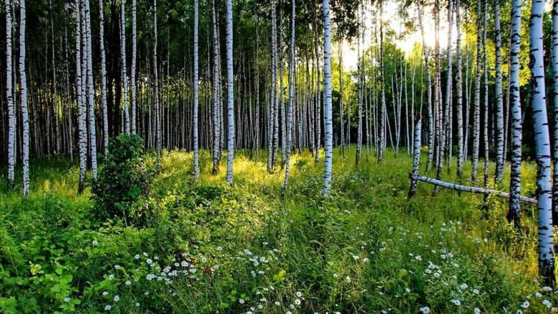 Features of the use of forest birches in the landscape design of the site