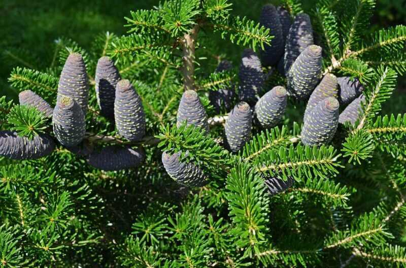 Ornamental conifers: rules for the design of group and specimen plantings in the garden