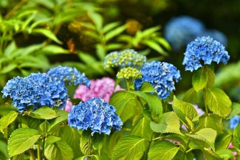 6 subtle reasons to plant a hydrangea in your garden