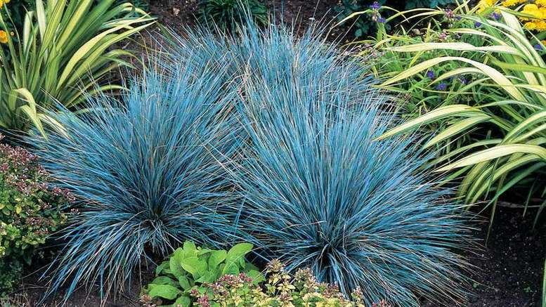 Secrets of growing fescue from seeds