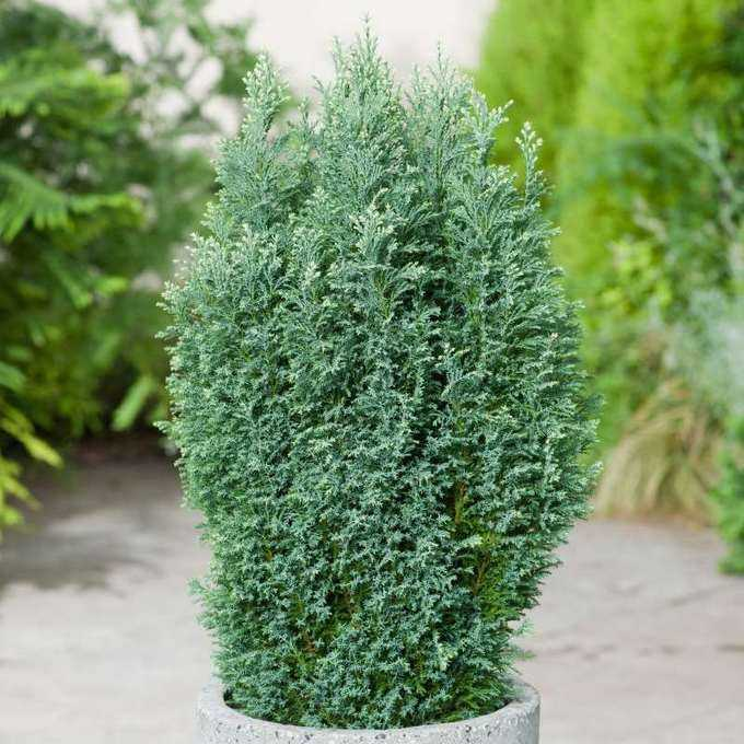 Lawson cypress elwoodi Home care Growing from seeds Planting and care