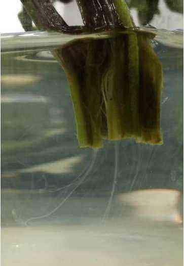 New Major Bacterial Potato Pathogen Discovered
