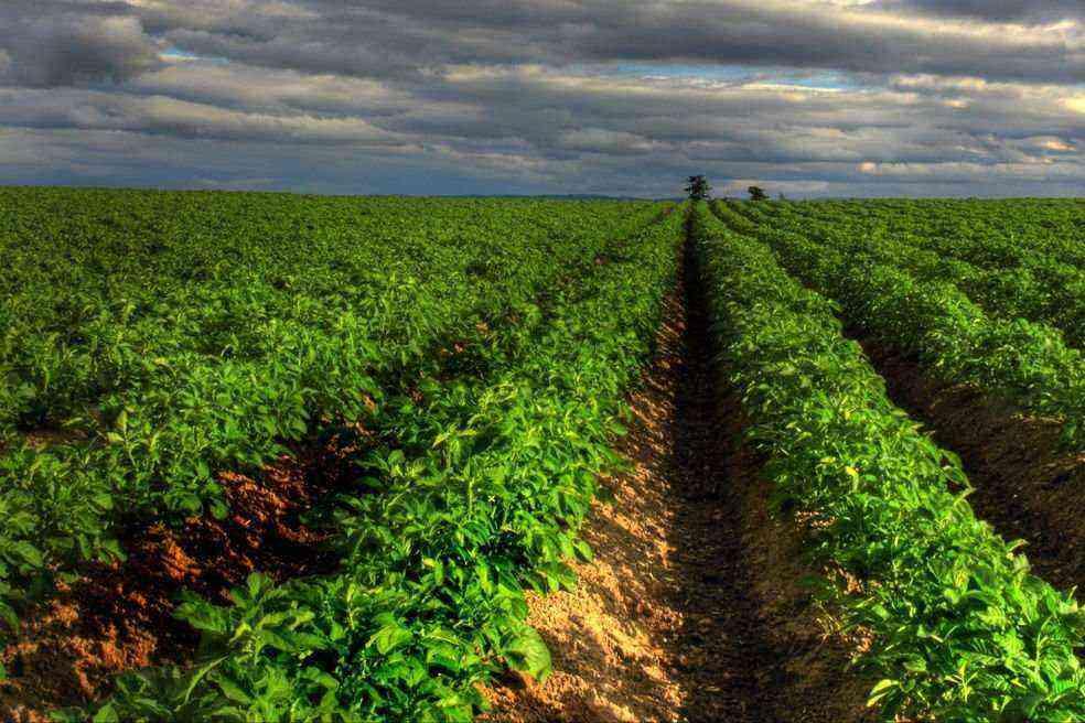 Ridge technology of potato cultivation on fossilized soils