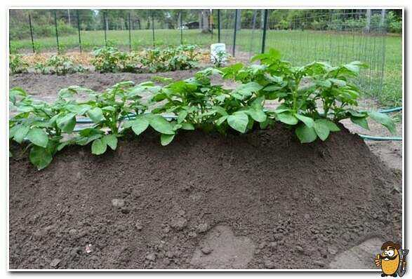 Colombo potatoes: description and characteristics of the variety care how to grow