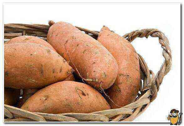 Potatoes Ermak care how to grow