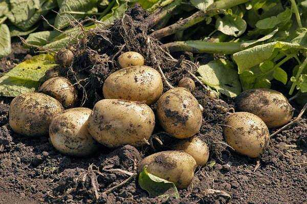 Planting potatoes: we calculate favorable days according to the lunar calendar in 2021