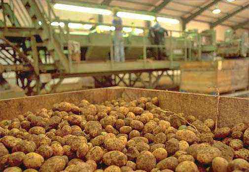 Mid-early varieties of potatoes originator Saatzucht Fritz Lange KG