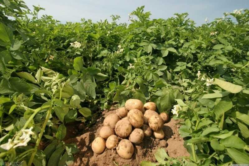 7 elements of increasing the efficiency of growing potatoes