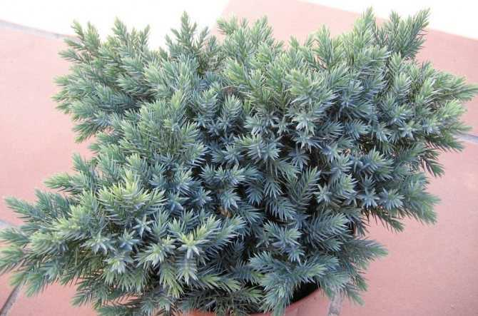 About growing juniper at home from seeds: planting and care