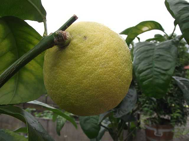 Bergamot cultivation and care
