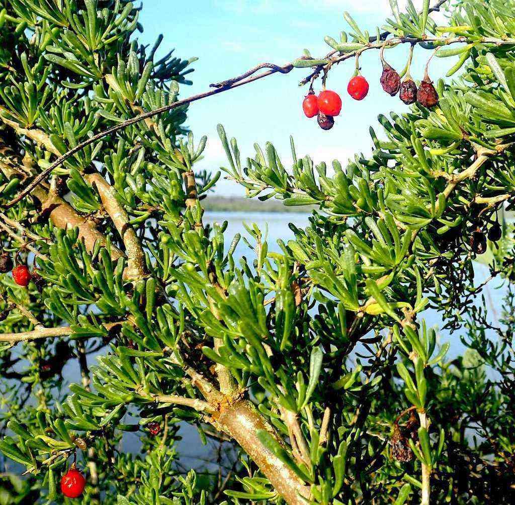 Christmasberry, Wolfberry, Goji