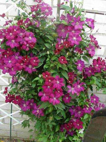 Clematis Rouge Cardinal: Pruning Unit, Planting and Care