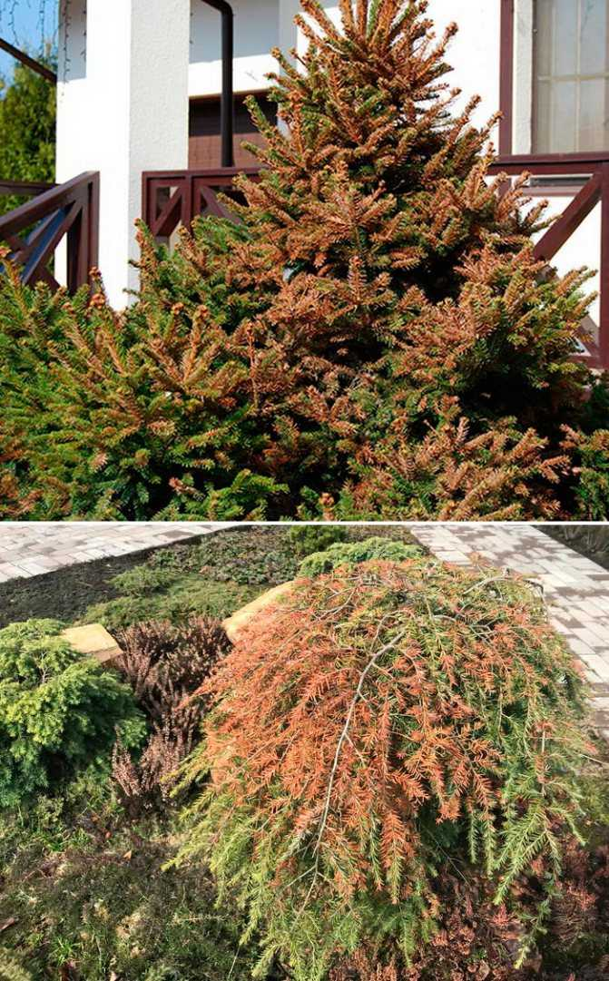 Diseases and pests of conifers: treatment and treatment
