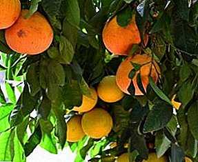 Grapefruit Growing and Care Benefits