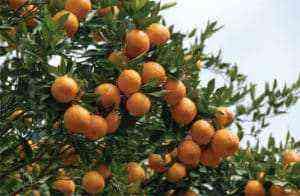 Growing oranges, Planting, Growing, Grooming, Gathering