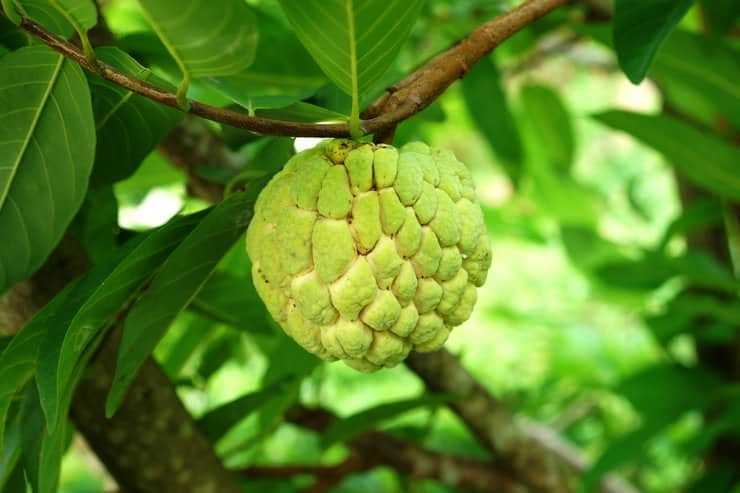 How to Grow an Annona Tree Sugar Apple Tree Care