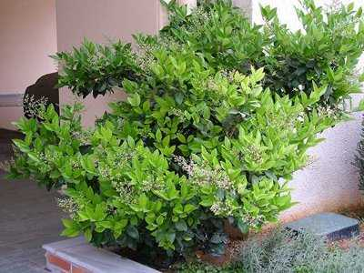 Indoor privet – growing and care, Bonsai with photos and videos