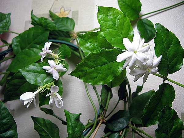 Jasmine Sambac (Arabic) – houseplant care at home?