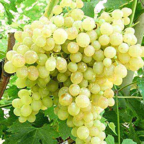 Kishmish grapes