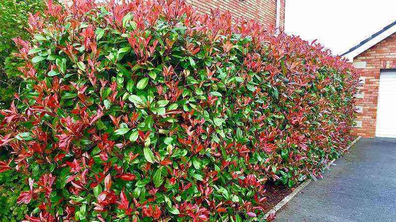 Photinia: a suitable shrub for the garden