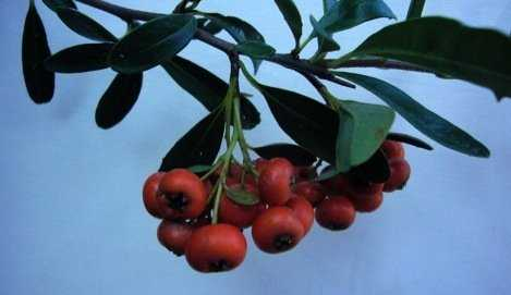 Pyracantha Jelly and Santa's Belly