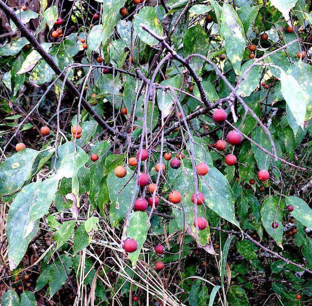 Sugarberries & Hackberries