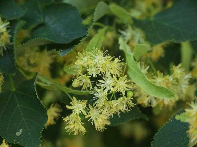 What is the name of the tree on which helicopters grow. How maple seeds fly