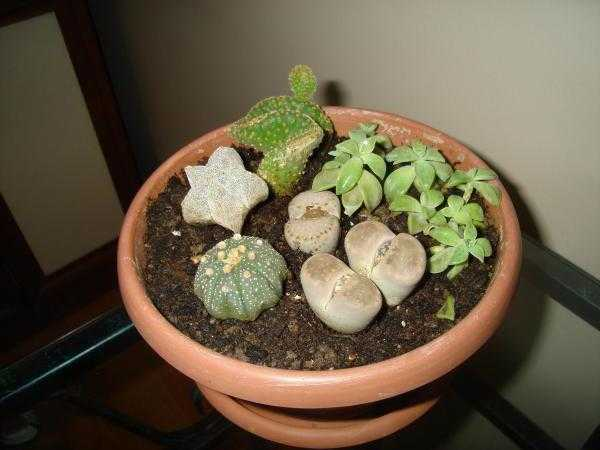 What soil is needed for cacti: requirements and composition of the soil. How to make a substrate yourself?