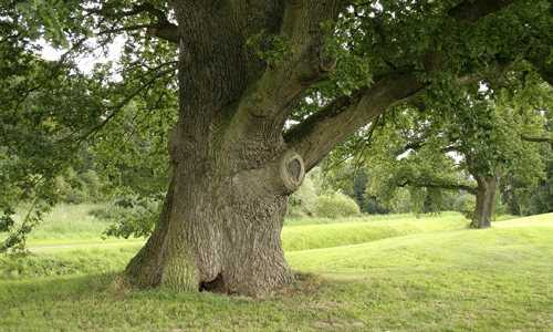 What time of year are oaks planted? Oak: planting and care. Landing in open ground