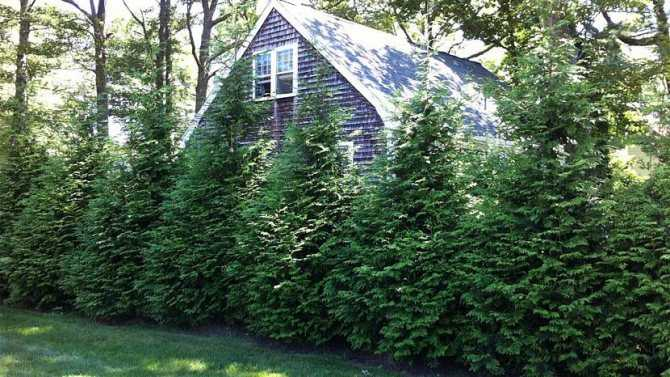 When to plant thuja and how to properly care for the plant?