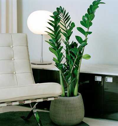 Zamioculcas – we grow a dollar tree without problems and hassle