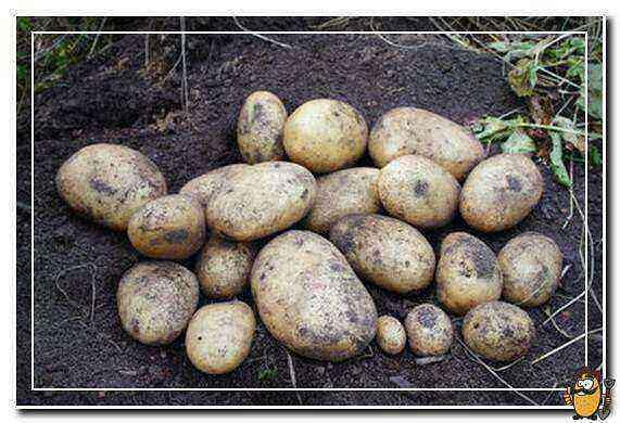 Andretta's Potatoes care how to grow