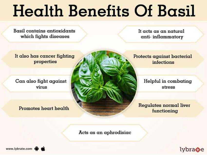 Basil benefits and harms