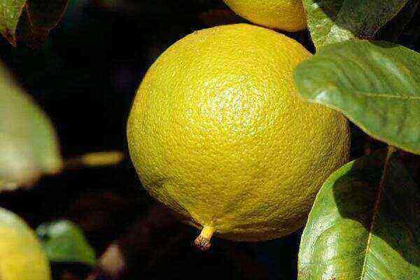 Bergamot benefits and harms