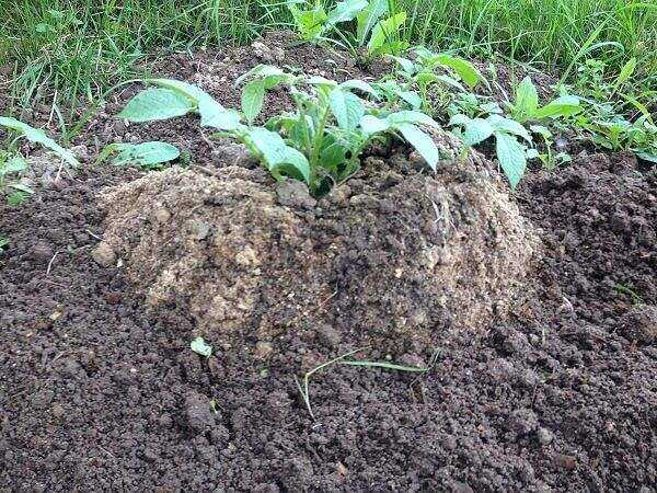 Chinese method of growing potatoes – technology features