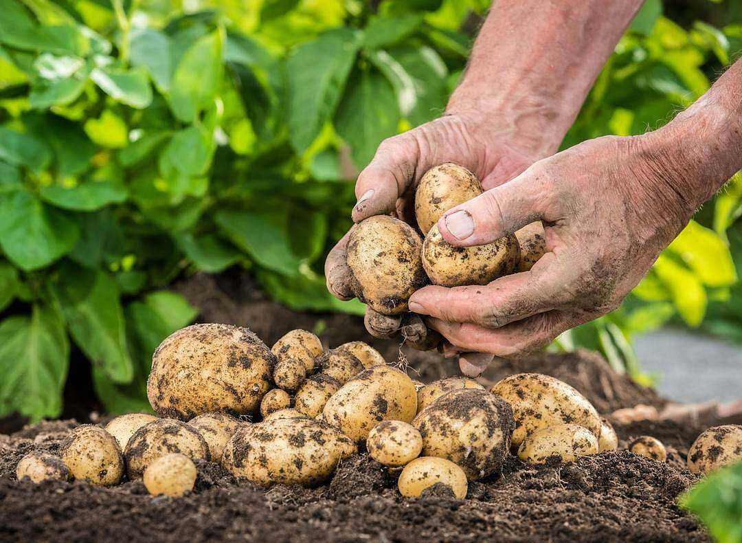 Fertilizers for Planting and Growing Potatoes – The Complete Guide