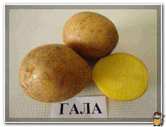 Gala Potatoes care how to grow