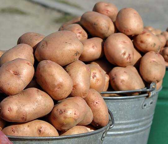 Growing potatoes using Dutch technology in the country