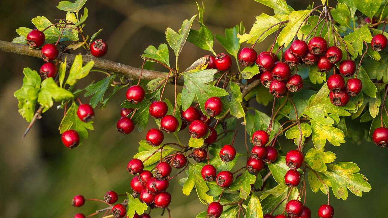 Hawthorn benefits and harms