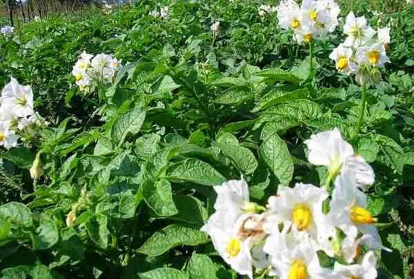Norms and recipes for foliar feeding of potatoes