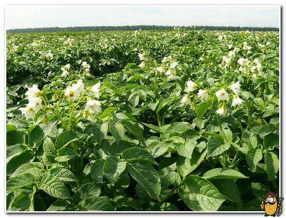 Picasso potatoes: features of the variety care how to grow