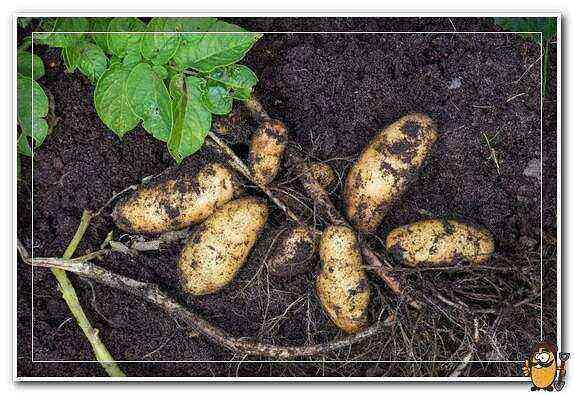 Potato Barin care how to grow