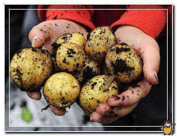 Potato Kolobok care how to grow