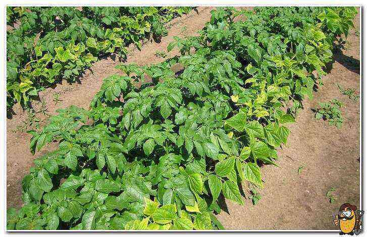 Potato Luck care how to grow