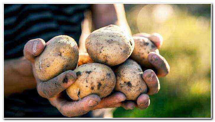 Potato Sonny care how to grow